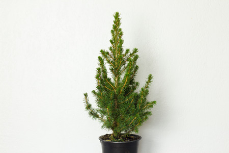 pinetree: Small pinetree in a pot over white wall Stock Photo