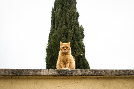 guarding: Orange grumpy cat guarding from a wall Stock Photo