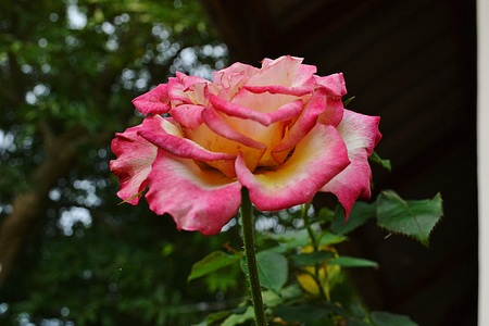 pics: Double delight rose.