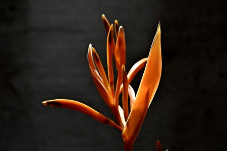 heliconiaceae: Heliconia,derved from the Greek word Helikonios,is a ginus of flowering plants in the Heliconiaceae.
