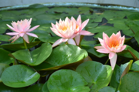 Water Lily : Nymphaeacae is a family of flowering plants,commonly called Water Lilies,