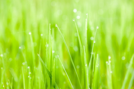 fresh greesn grass with water drop  photo