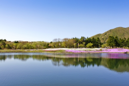 beautiful shiba sakura in water reflection 版權商用圖片