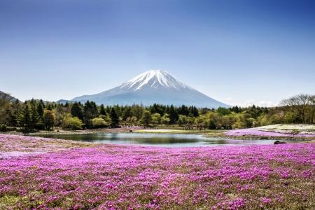 Fuji mountain and pink moss phlox 版權商用圖片
