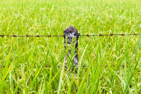 Fence in rice field, Thailand
