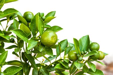 naranja arbol: Naranjo con fruto