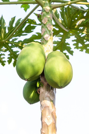 Close up of Papaya Tree photo