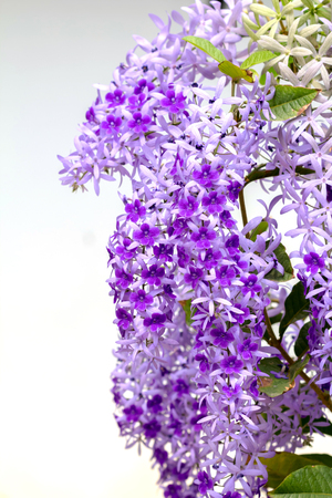 petrea: Petrea Flowers. (Queens Wreath, Sandpaper Vine, Purple Wreath)