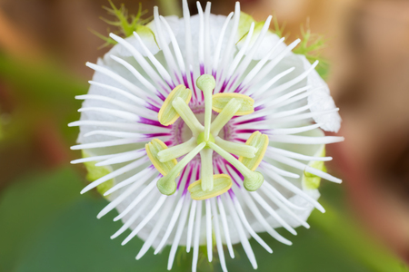 passionflower: Beautiful passiflora