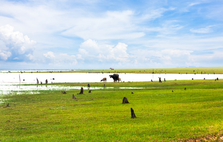 Beautiful view of green fields and meadows with buffalo