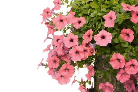 Pink flowering petunia-vintage filter