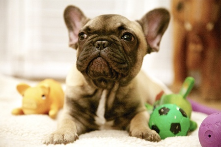 awakening: French Bulldog puppy reddish brown awakening