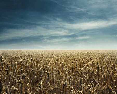 champ de mais: retour champ de maïs lumière chaude Banque d'images