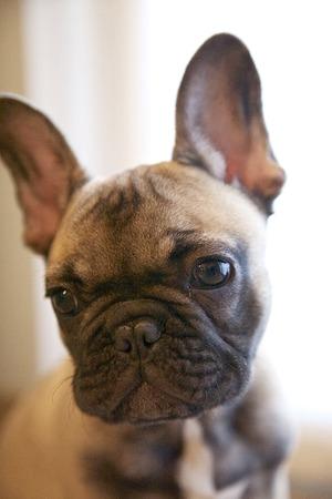 french bulldog puppy: French Bulldog puppy portrait reddish brown sleeping