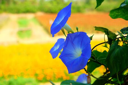 Heavenly Blue Morning Glory Flower. over blurred green garden with morning warm light, beauty of nature.