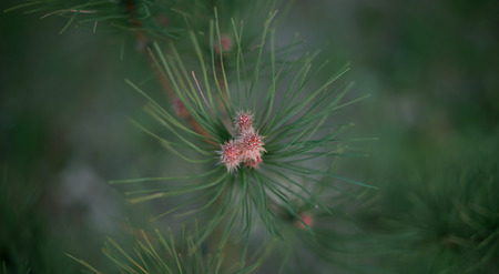 pinetree: small pine-tree with nob Stock Photo