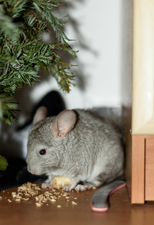 lanigera: Grey chinchilla under green tree eat wood