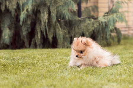 small puppies spitz breed walking on the grass at the yard Stock Photo