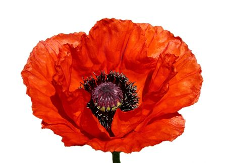 Flower of a red poppy on a white background