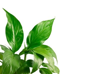 Green leafs of a spathiphyllum on a white background Stock Photo