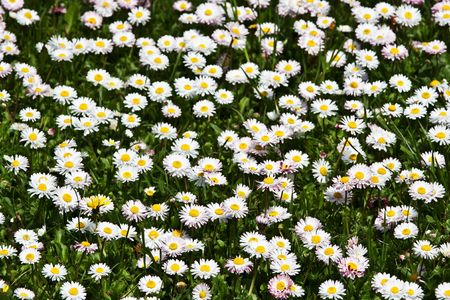 Wild daisies in the green grass Stock Photo - 4905943