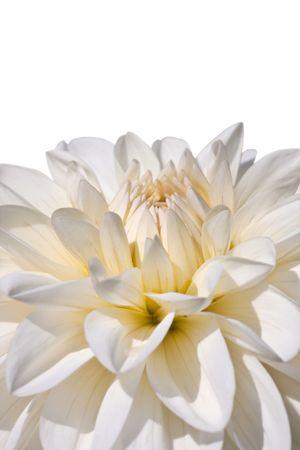 bright white aster in morning sunlight Stock Photo - 5448935