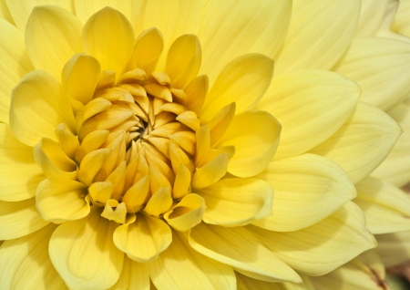 dahlia flower: bright yellow aster in morning sunlight