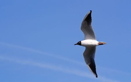 Seagull in flight against the blue sky photo