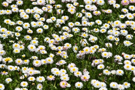 Wild daisies in the green grass Stock Photo - 5789892