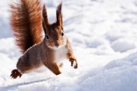 bosque con nieve: Detalle de la ardilla roja posando en el Parque
