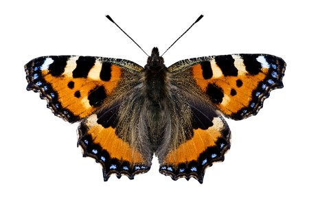 isolated spot: Small Tortoiseshell Butterfly (Aglais urticae) on white background Stock Photo