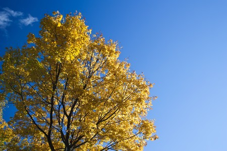 Autumn leaves against clear blue sky