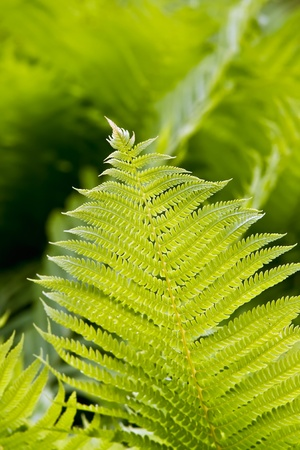 Green leaf or frond of the fern plant photo