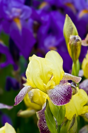 Yellow and dark blue irises blossoming in a garden Stock Photo - 9295975