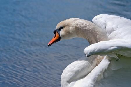 Beautiful White Swan photo