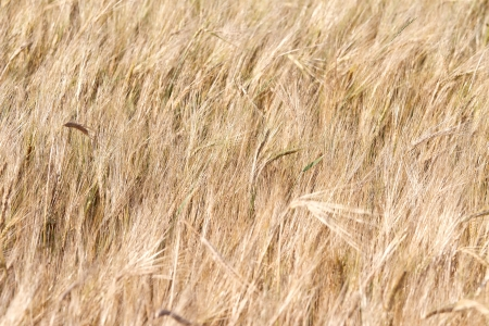 Golden wheat growing in a farm field photo