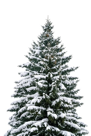 High fir trees covered with snow photo