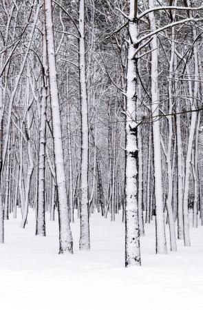 冬の森の木 写真素材
