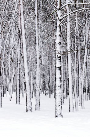 Trees in the winter forest Stock Photo