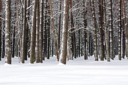 雪の木を覆われた冬の日 写真素材