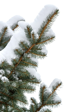 Branches of a winter spruce tree photo
