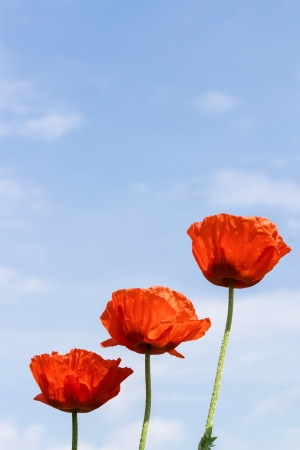 Wild poppies against blue sky photo