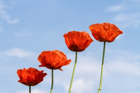Wild red poppies against blue sky photo