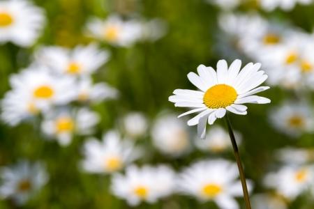 white daisy: White daisy against green grass Stock Photo