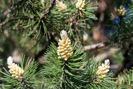 Young pine cones on pine tree photo