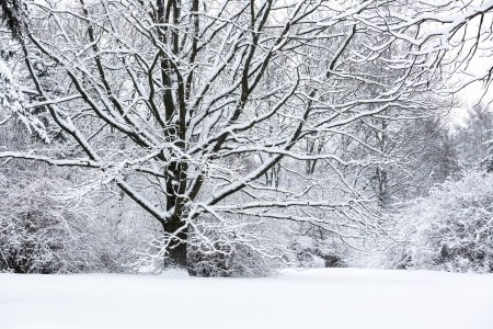 Snow covered beech trees landscape photo
