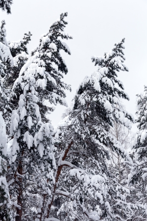 Winter landscape with snow covered fir trees photo