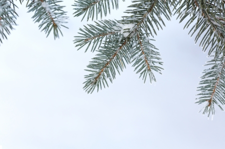 Fir tree branch covered with snow Stock Photo - 23986808