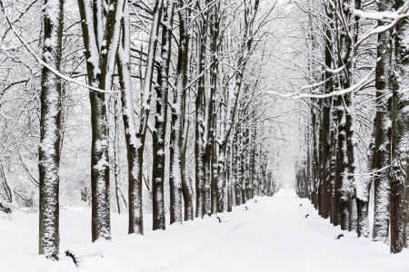Footpath with beech trees in winter photo