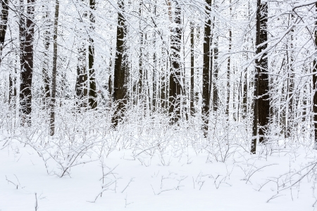 Beech trees and underwood in a winter forest photo